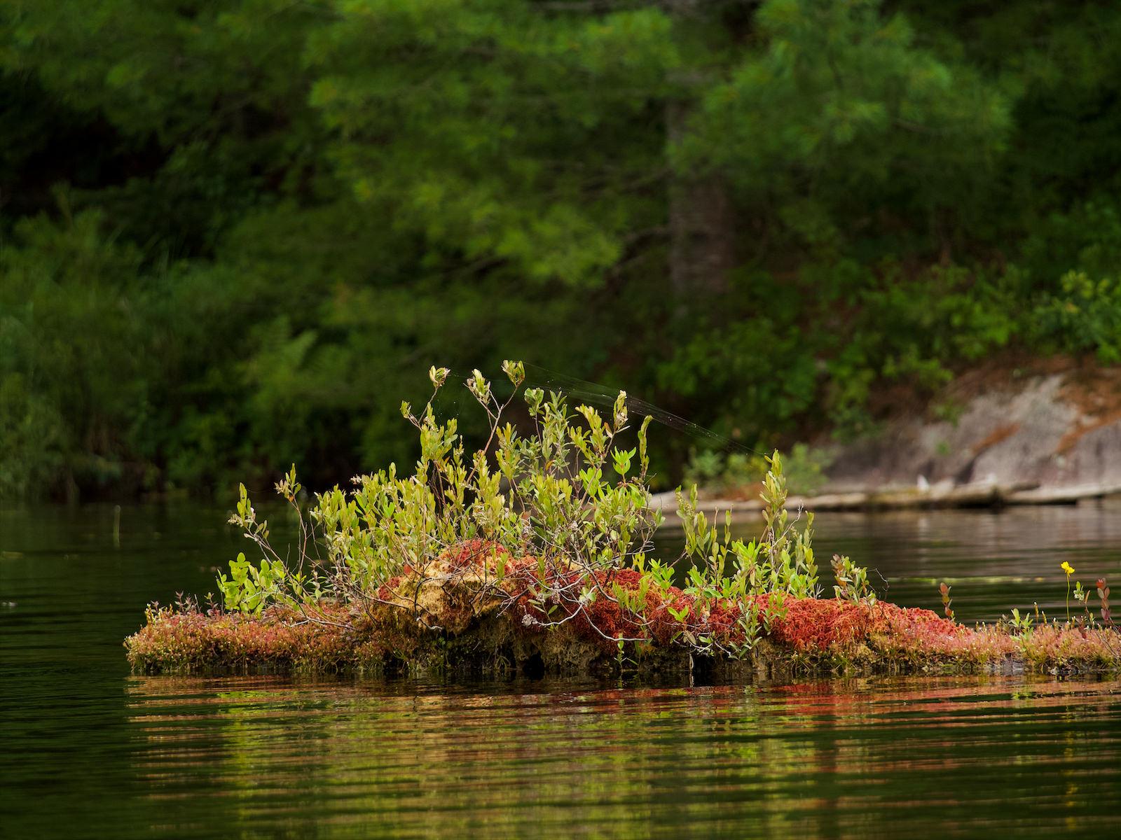 Un tronc dans le lac dont la partie émergente sert de milieu de vie à d'autres plantes.