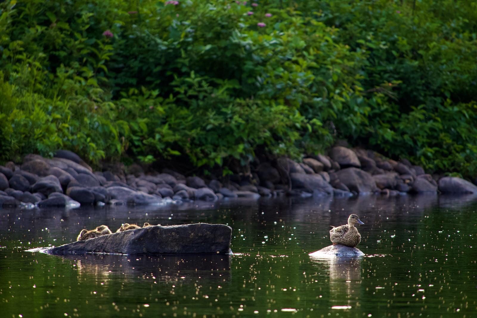 Une mère canard sur un rocher, ses petits sur un autre.