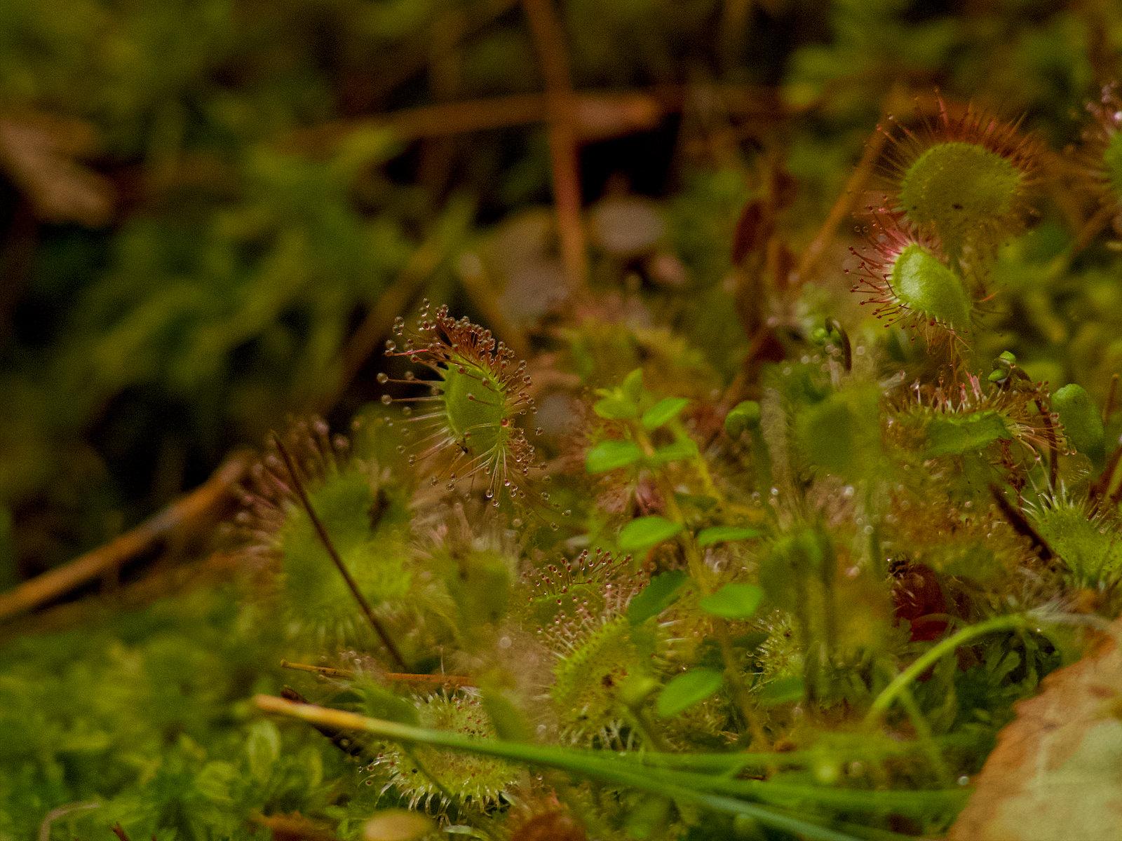 D'autres plantes carnivores.