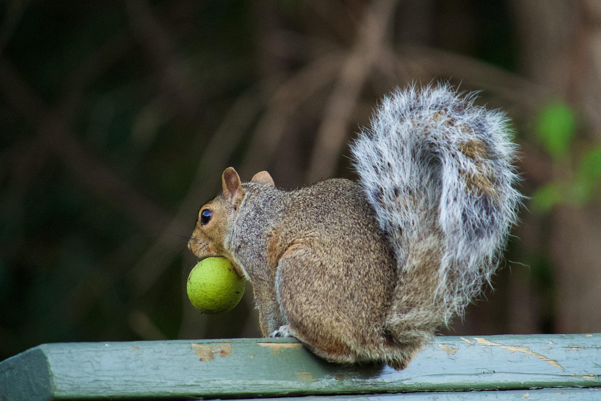 Un écureuil sur un banc avec un fruit dans la bouche, une noix?