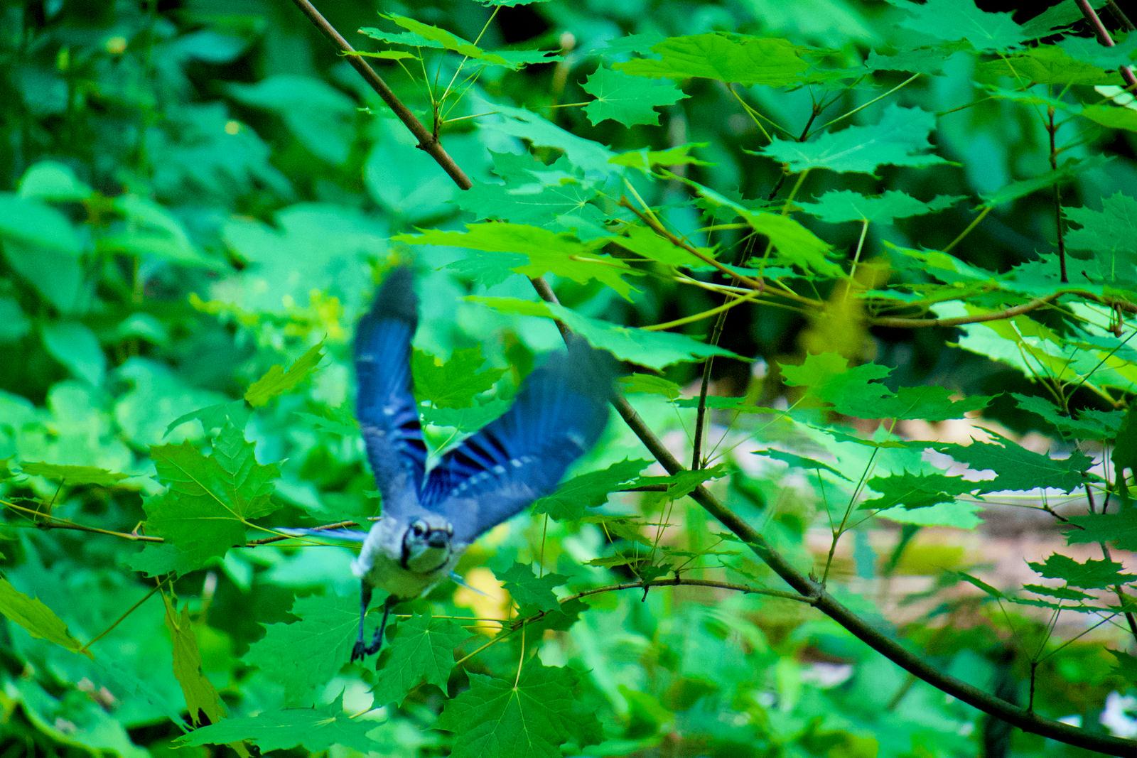 Un geai bleu prenant son envol.