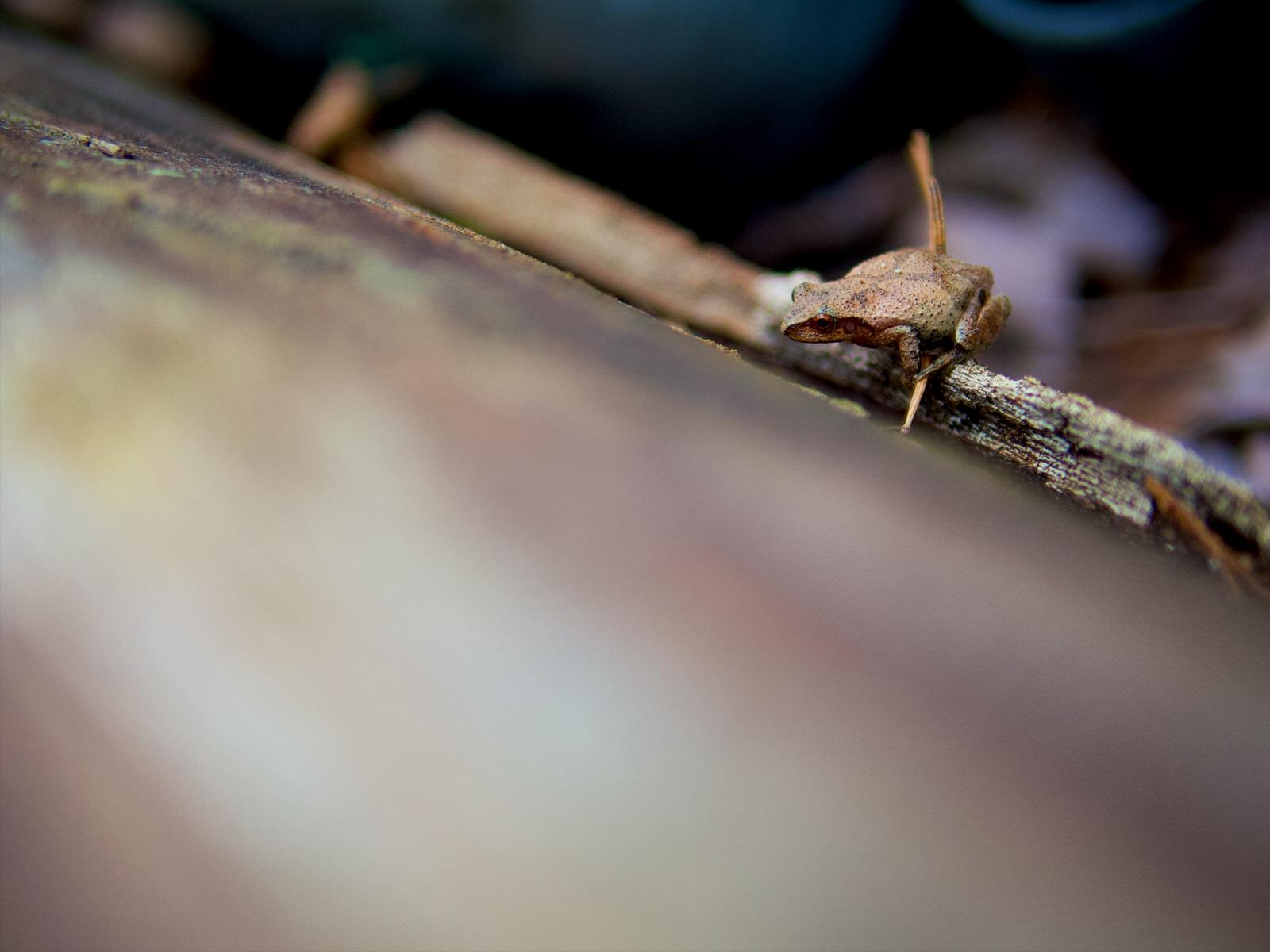 Une petite grenouille sur un tronc