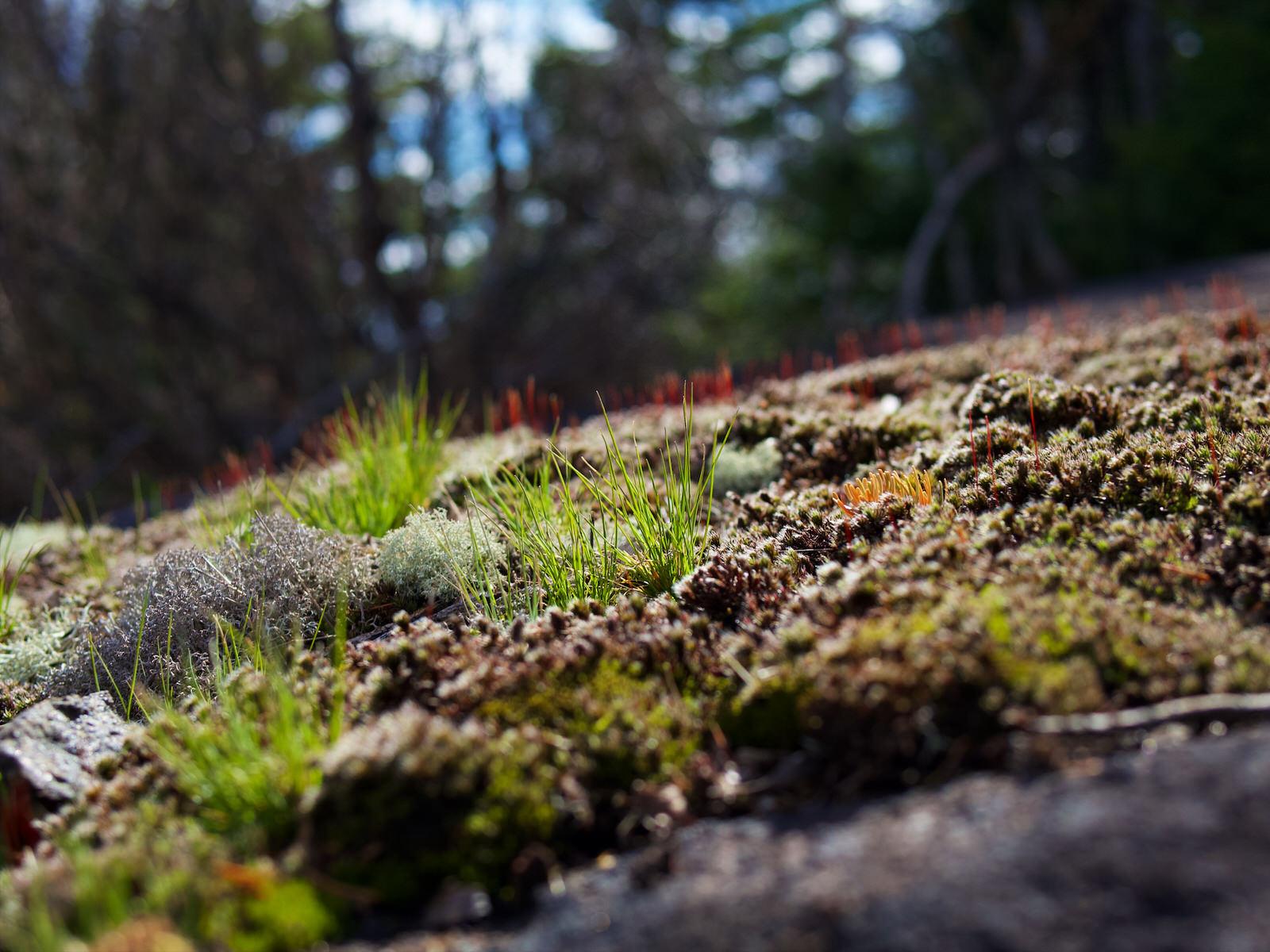 Des lichens sur un rocher