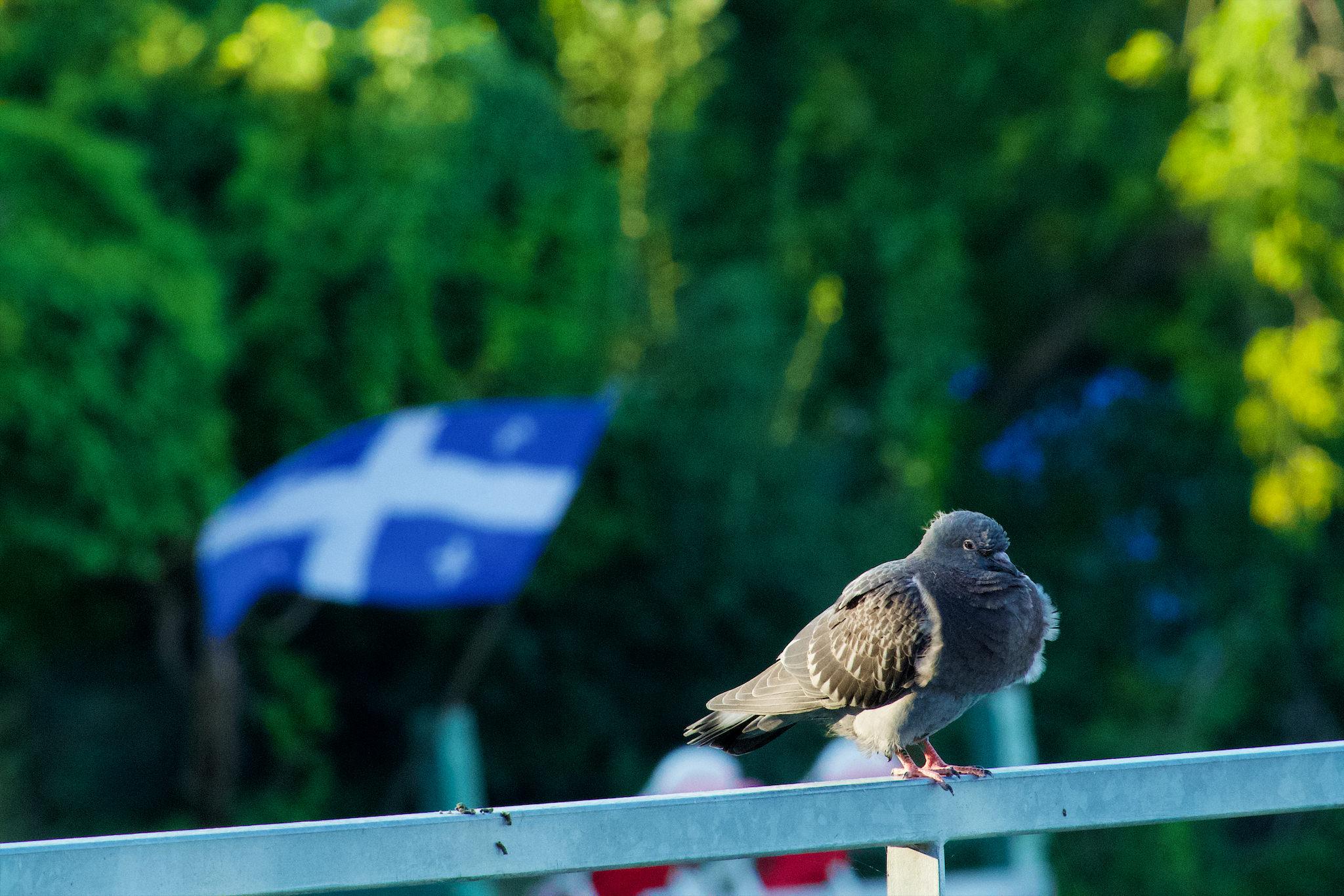 Un pigeon avec un drapeau québécois en fond.